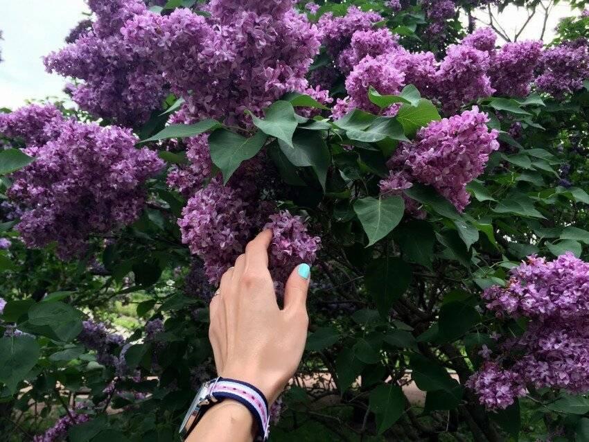 Почему не цветет сирень: причины и что делать