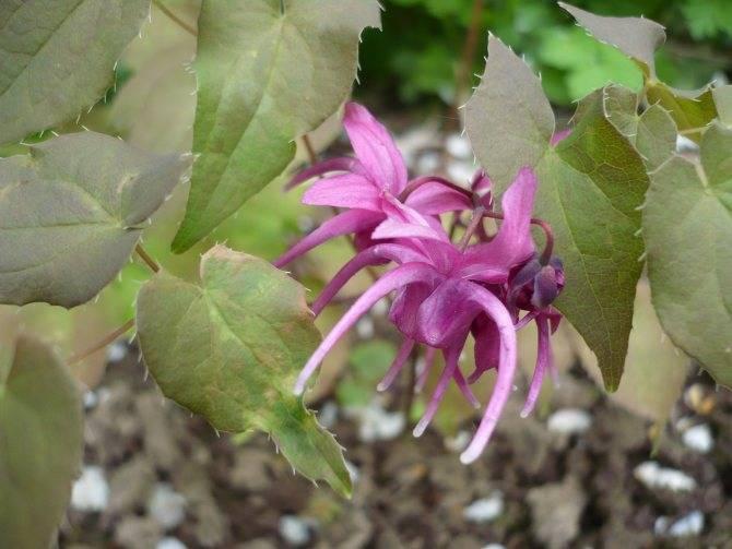 Гиацинт: фото, описание цветов, размножение, посадка и уход в открытом грунте