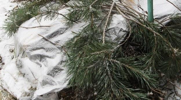Выращивание клематисов. советы для сибири