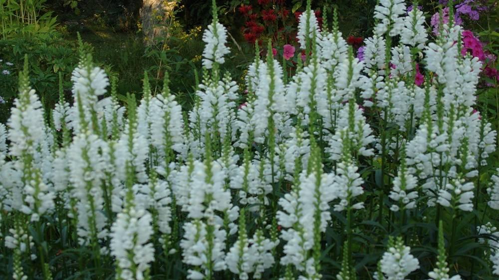 Физостегия – фото цветов и тонкости ухода в открытом грунте