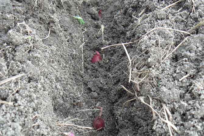 Лучшие сорта озимого лука: преимущества, описание – 4 сезона огородника