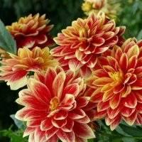 Когда выкапывать георгины осенью и как хранить зимой, чтобы яркие цветы ежегодно поражали нас красотой  