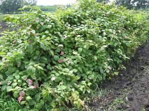 Актинидия аргута выращивание и уход, в том числе из семян, а также лучшие сорта с описанием, характеристикой и отзывами