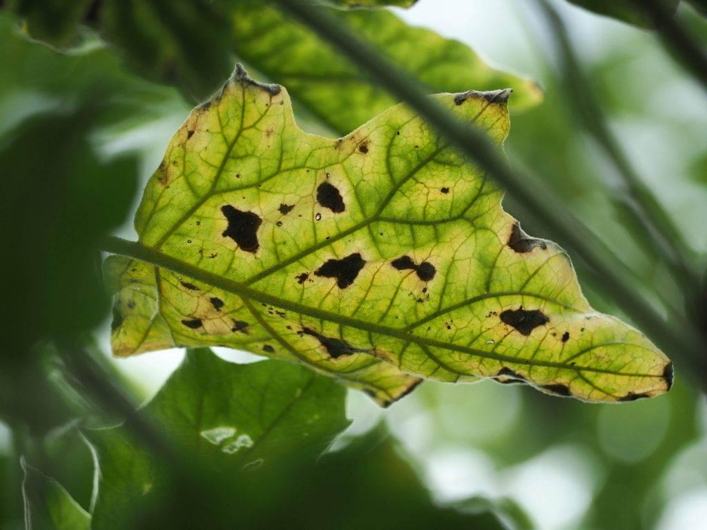 Сохнут листья в рассаде баклажан - сад и огород