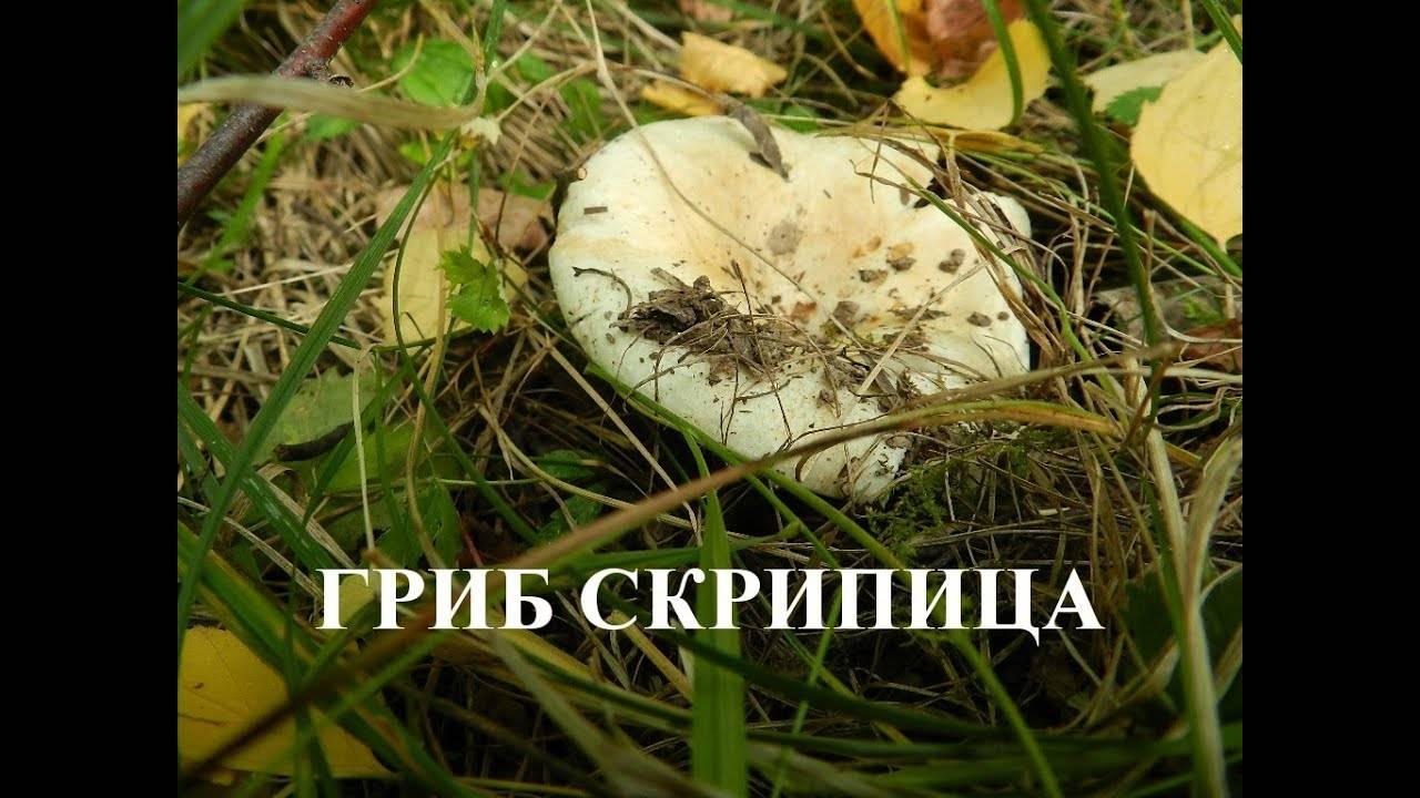 Скрипуны — википедия