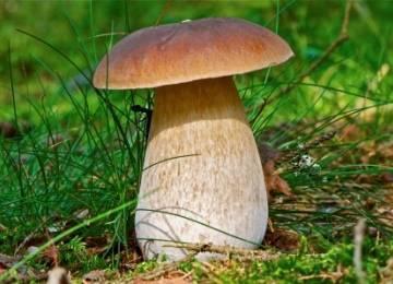 Белый гриб - 81 фото изысканного деликатеса для высокой кухни