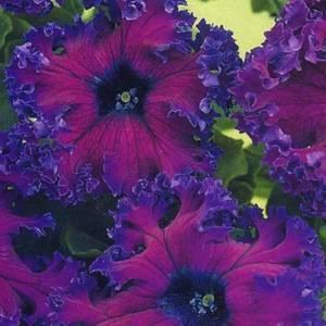 Петунии мелкоцветковые, и другие разновидности