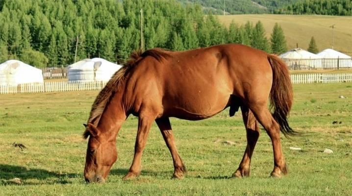Кабардинская порода лошадей: история, описание, фото   мои лошадки