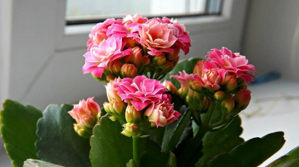 Почему не цветет каланхоэ: что делать и как заставить цвести? советы по уходу