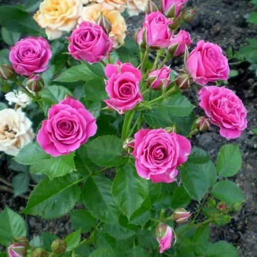 Сорта розовых роз: плетистые, нежно-розовые и чайно-гибридные, фото