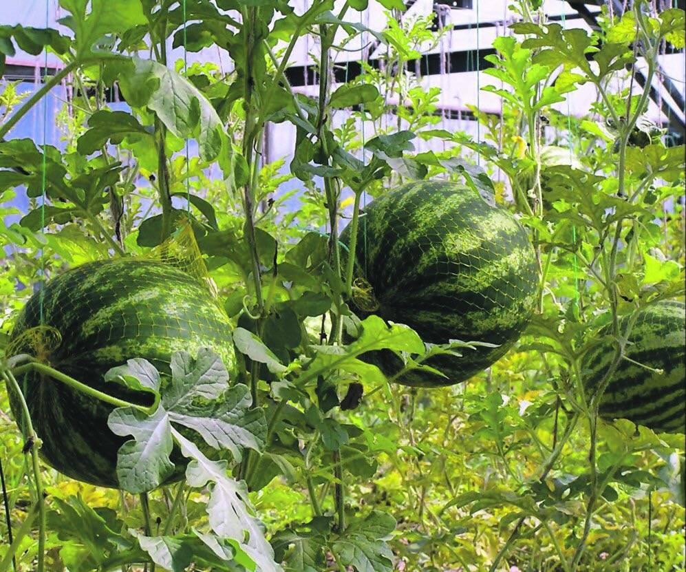 Выращивание арбузов в теплице: посадка и уход, схема формирования с фото