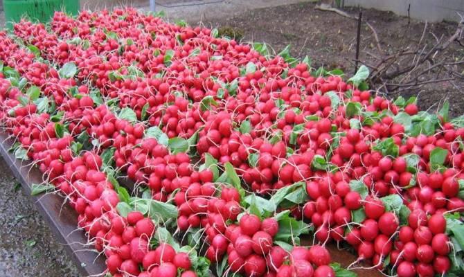 Секреты выращивания редиса в теплице зимой на стол и продажу