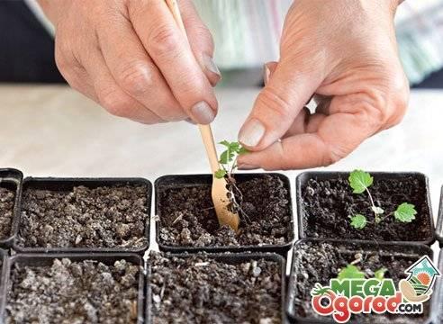 Выращивание рассады клубники из семян в домашних условиях