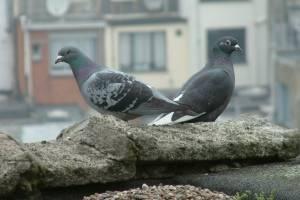 Проблемы балконов: как прогнать голубей