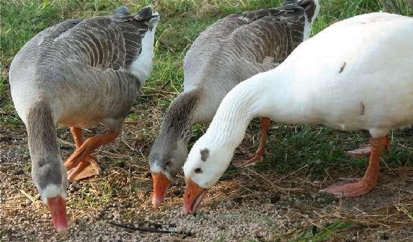 Чем в домашних условиях можно кормить гусей: какие продукты они едят и как составить их рацион