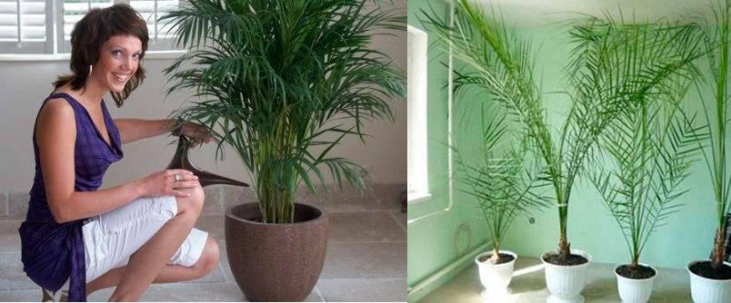 Финиковая пальма из косточки в домашних условиях, размножение, пересадка