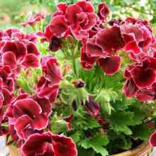 Осенняя обрезка герани — гарантия пышного цветения