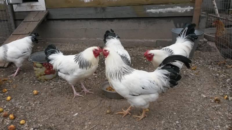 Первомайская порода кур: описание и фото, характеристики, особенности содержания и выращивания selo.guru — интернет портал о сельском хозяйстве