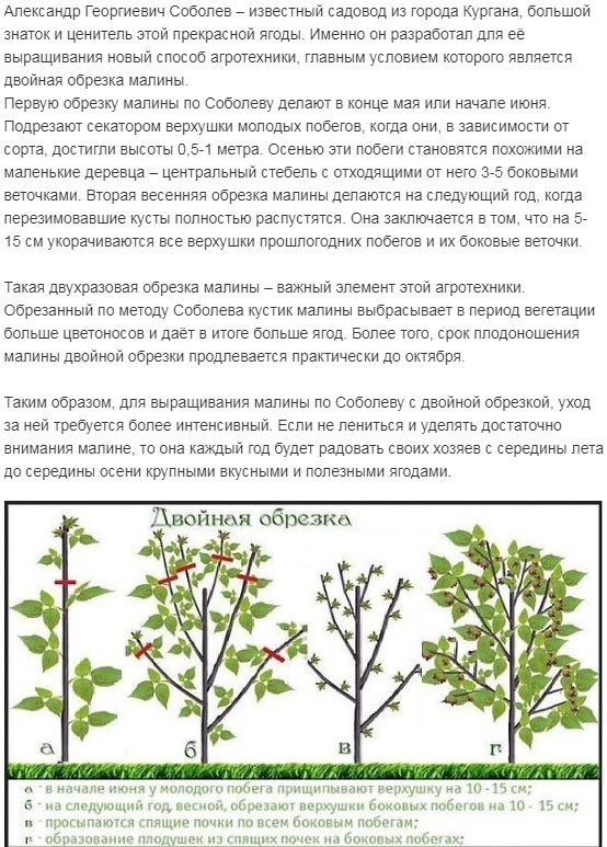 Как проводится обрезка малины весной и осенью, чтобы получить хороший урожай, лучшие сорта растения, как правильно их выбрать для юга россии