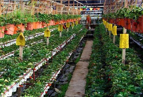 ✅ выращивание редиса в теплице зимой: выбор сортов и уход за ним - tehnoyug.com