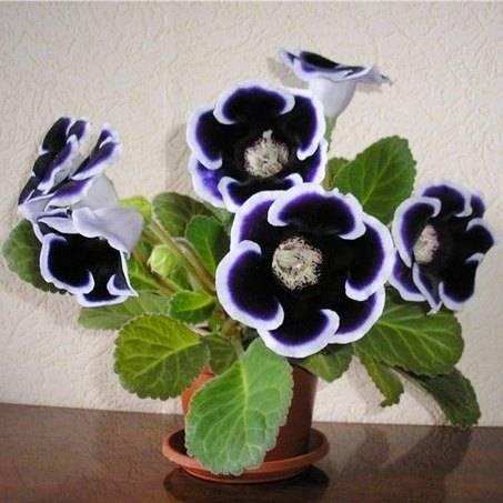 Глоксиния или синнингия? описание, виды, выращивание из семян или клубня, уход, размножение