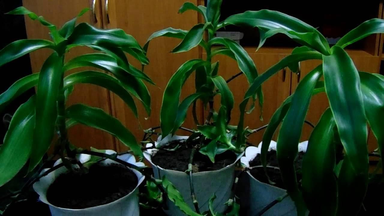 Золотой ус - выращивание в домашних условиях, способ посадки, размножение