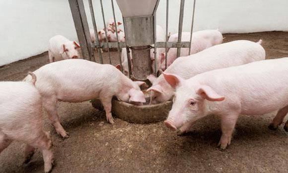 Выбираем лучшие стимуляторы для набора веса свиней
