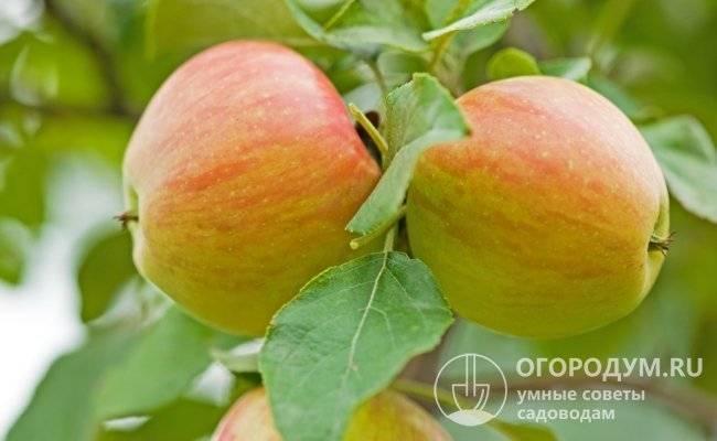 Агроном: характеристика сладкой зимней яблони хани крисп в 2019 году