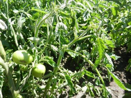 Тля на помидорах как бороться народные средства