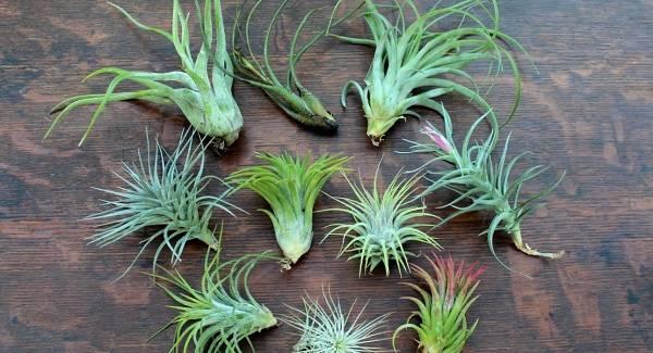 Домашний цветок тилландсия, советы и рекомендации по уходу