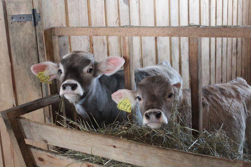 Комбикорм для телят (крс): виды, состав, достоинства и недостатки