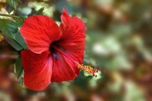 Китайская роза: фото, описание, уход в домашних условиях