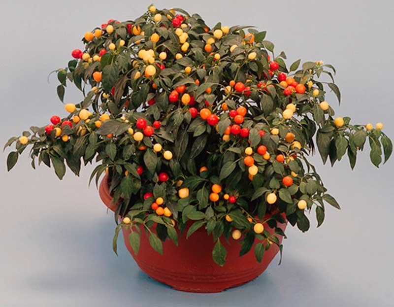 Паслен - уход за комнатным растением | подробное описание растения