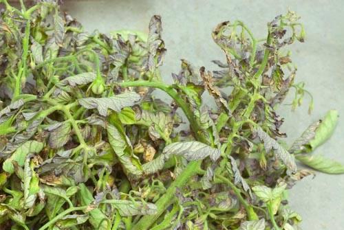 Почему у помидоров скручиваются листья в теплице и открытом грунте, что делать