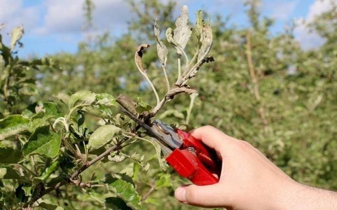 Как размножить яблоню: все действенные способы с описаниями