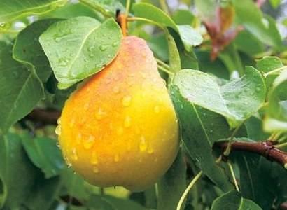 Груша чижовская: фото, отзывы садоводов, урожайность