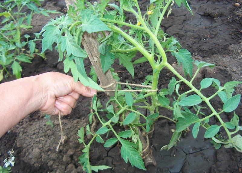 Как подвязывать помидоры в открытом грунте: видео