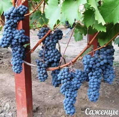 Один из лучших винных сортов — «ливадийский черный». лучшее вино из сорта вонограда ливадийского черного