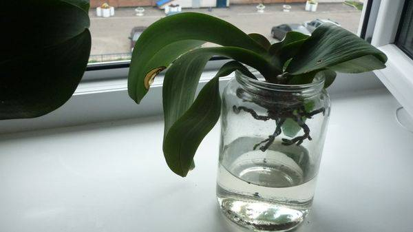 Как спасти орхидею: без корней и листьев, если отвалились все, стали вялыми или есть только один, можно ли реанимировать цветок в домашних условиях без точки роста? русский фермер