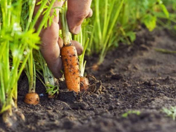 Когда сеять морковь в открытый грунт: сроки посадки, лучшее время для правильного размещения семян на урале и в других регионах, в какие дни можно исходя из погоды? русский фермер