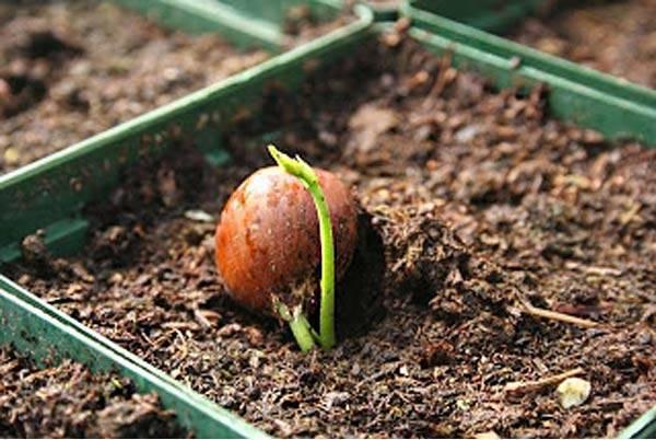 Орех фундук посадка и уход: описание, нюансы роста и советы по выбору посадочного материала. 115 фото и видео выращивания