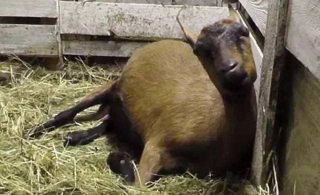 Уменьшение удоев – причины плохой молочности коз