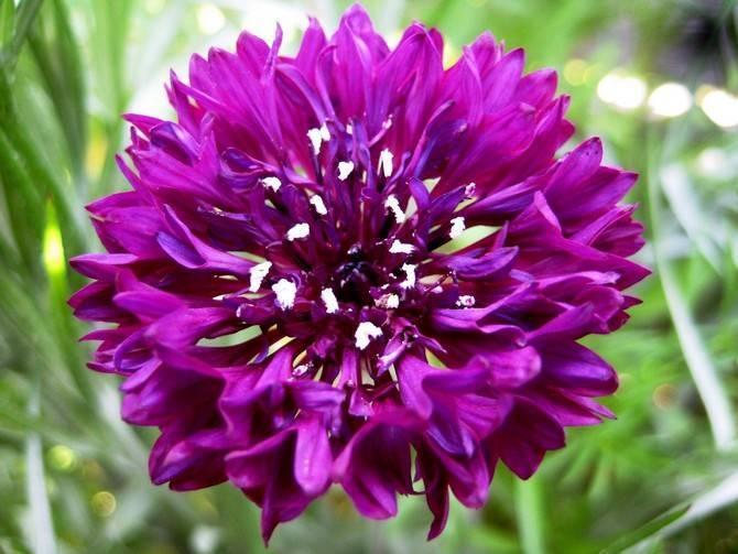 Выращивание васильков в саду: посадка и уход
