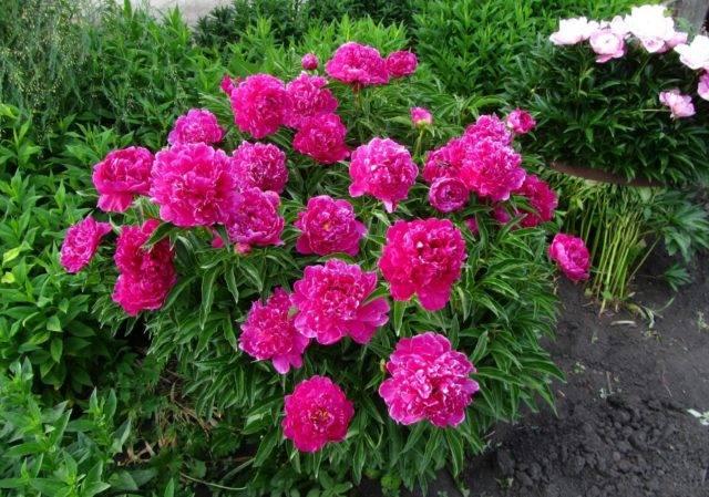 Пионы: выращивание и уход в саду, способы размножения