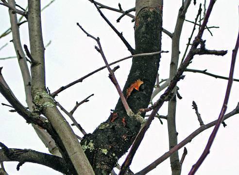 Мучнистая роса на яблоне: фото и способы борьбы с белым налетом