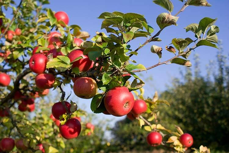 Чем подкармливать яблони весной
