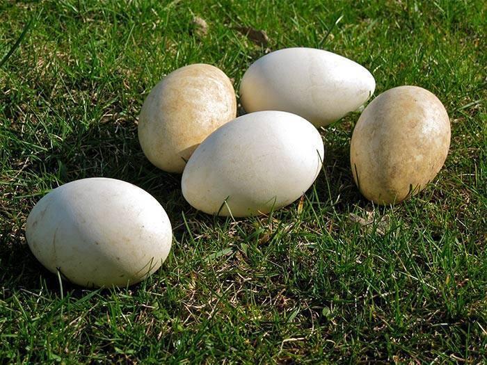 Яйценоскость домашних гусей: сколько дней и как гусыня высиживает яйца