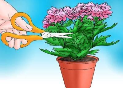 Как сохранить хризантемы зимой в саду. способы хранения
