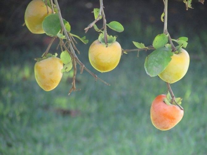 Хурма — божественный огонь в саду