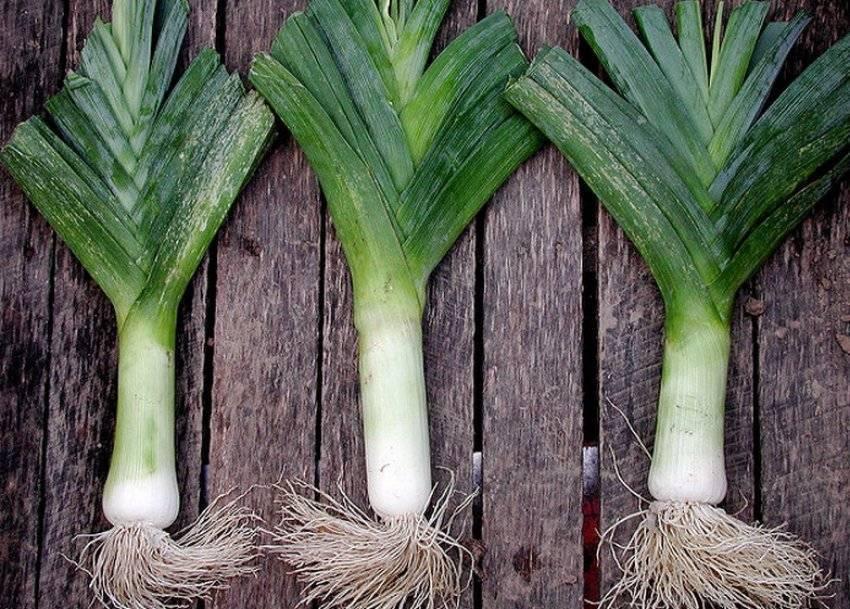 Лук-порей: посадка на грядку, выращивание, уход
